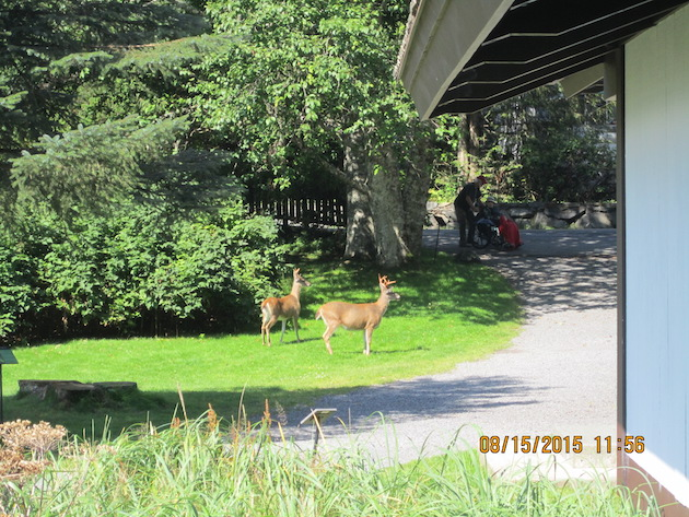 Deer in park 4