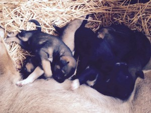 Juneau Sled Dog Puppies
