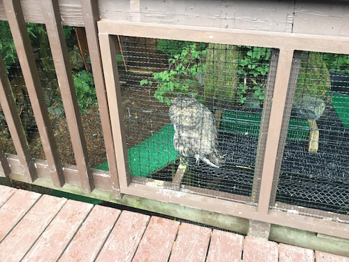 Raptor Center Horned Owl