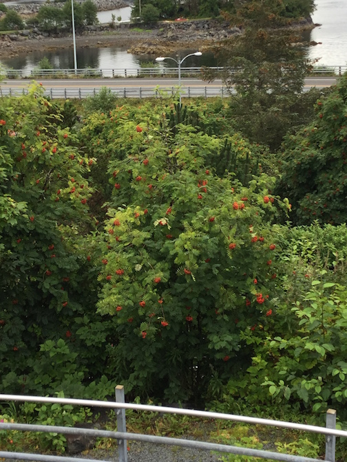 Thimbleberry tree